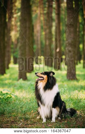 Looking Aside Tricolor Rough Collie, Scottish Collie, Long-Haired Collie, English Collie, Lassie Adult Dog Sitting On Green Grass In Summer Spring Forest, Copyspace Background .