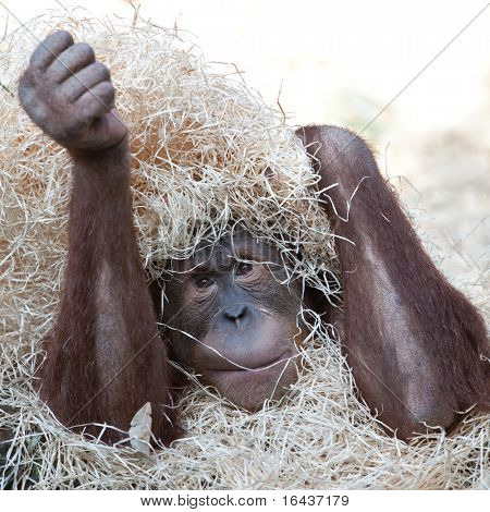 sad orangutan hiding under hay