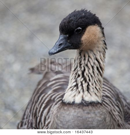 Hawaiian Goose (Branta sandvicensis)