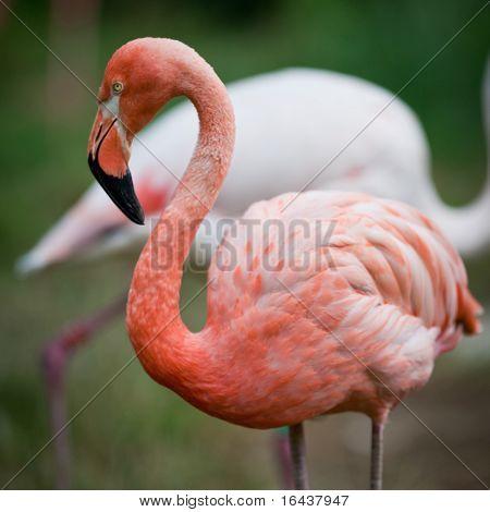 Flamencos rosados