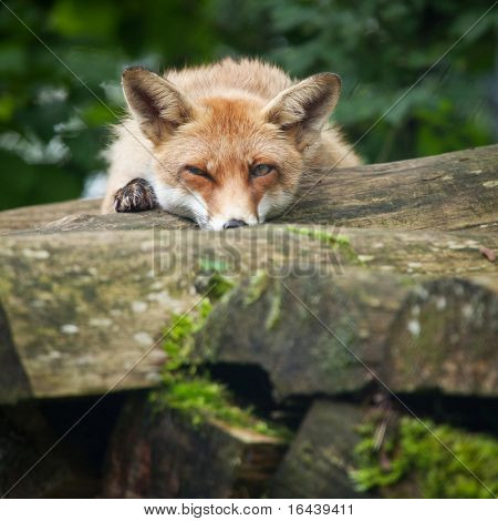 Red Fox (Vulpes vulpes) - watching you inconspicuously
