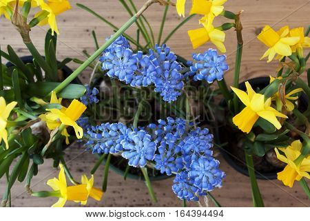 Flayt Lay Of Spring Flowers Like Grape Hyacinth And Narcissus Or Daffodil. Brown And Rustic Wooden Background. Card For Season Greetings