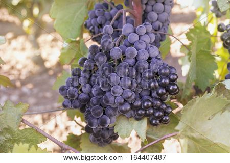 A vibrant photo of wine grapes hanging from a vine in a vineyard, just before the autumn harvest, slightly toned