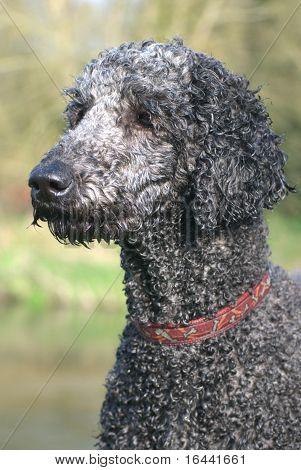 Perfect Poodle Portrait