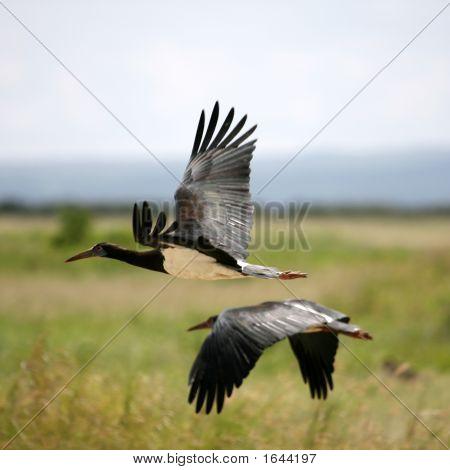 Abdim'S Stork In Amboseli Kenya