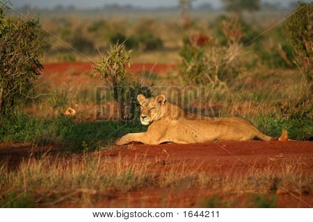 Lion In The Morning Sun Tsavo East National Park Kenya