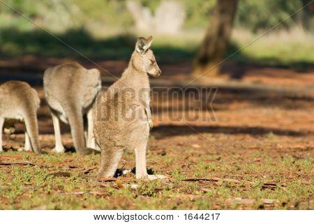 gemieden kangaroo