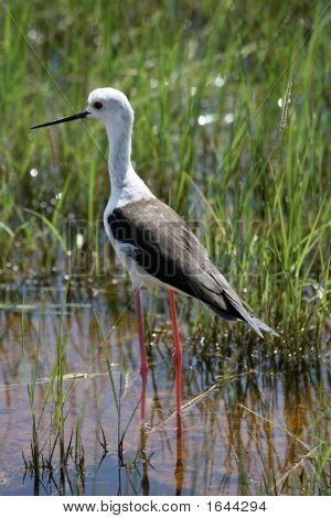 Black Winged Stilt In Amboseli Kenya