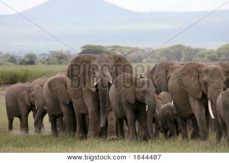 African Elephant Herd Amboseli Kenya