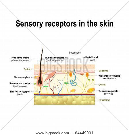 human sensory system in the skin. Pressure vibration temperature pain and itching are transmitted via special receptory organs and nerves