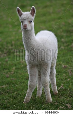 Young White Alpaca