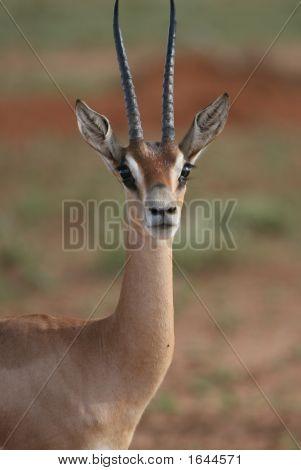 Impala Tsavo East Kenya