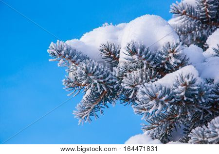 The Fir Branch Covered By The Snow