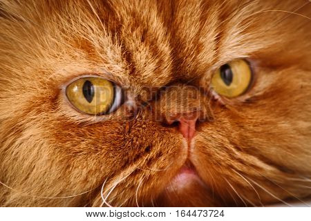 Muzzle red Persian cat close-up eyes nose fur