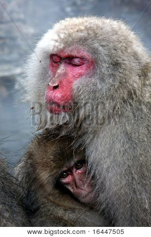 Snow Monkey at Jigokudani near Nagano, Japan