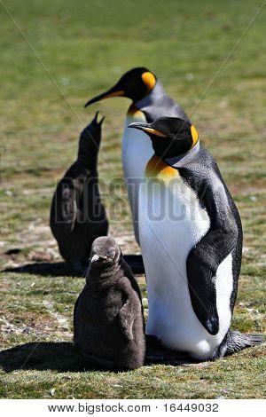 Pinguine mit ihren Küken an freiwilligen Punkt auf den Falkland-Inseln