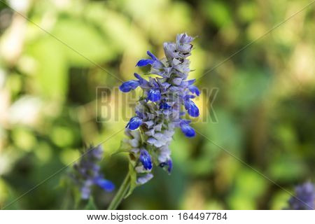 Many small blue flowers in the forest