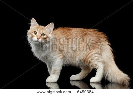 Red Siberian cat standing and questioningly looking in camera on isolated black background with reflection, side view