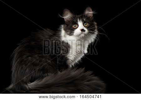 Playful Black with white Siberian Cat with spot on nose sitting with furry tail on isolated black background with reflection, Side view
