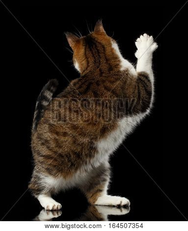 Playful Cat with funny pose standing on hind legs and turned back raising paw, stretched up on isolated black background, say goodbye or hi