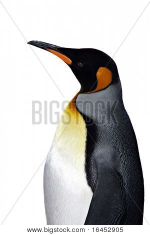 king penguin isolated on white background