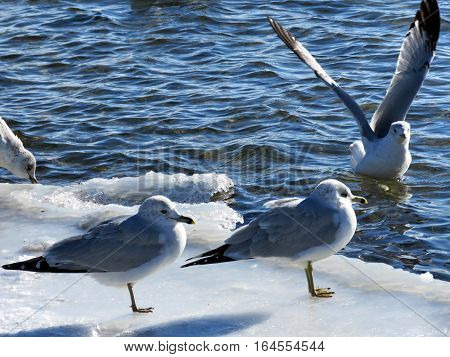 Gulls on a shore of the Lake Ontario in Toronto Canada January 6 2017
