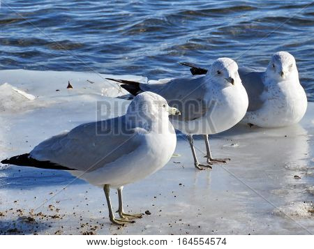 Gulls on the ice near a shore of the Lake Ontario in Toronto Canada January 6 2017