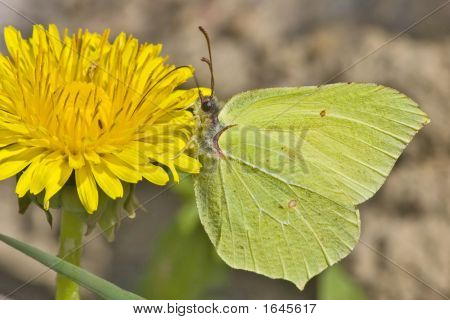 Brimstone And Dandelion