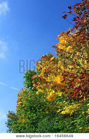 Autumn park - Brilliance Autumn Tree