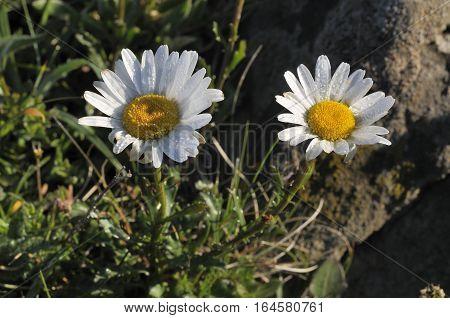 Ox Eye Daisies - Leucanthemum vulgare Dwarf form on rock outcrop