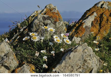 Ox Eye Daisies - Leucanthemum vulgare On rock outcrop wit Sea Campion and Thrift