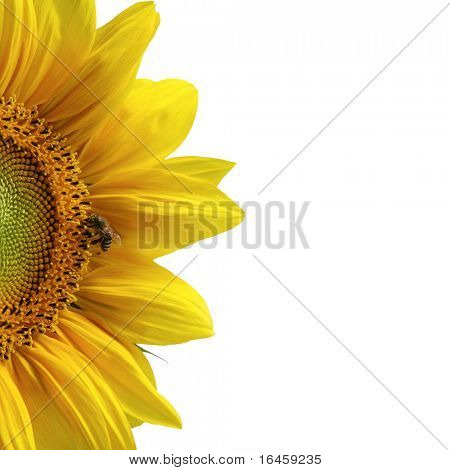 Sunflower macro shot over white background
