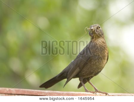 Female Blackbird With Food In Her Beak 2