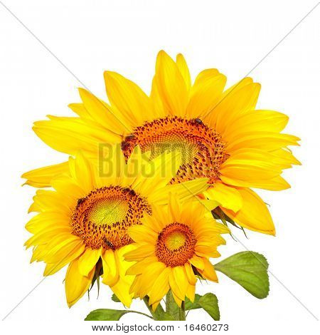 Sun Flowers, isolated