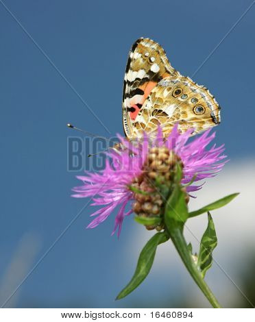 Monarch butterfly on pink flower, selective focus