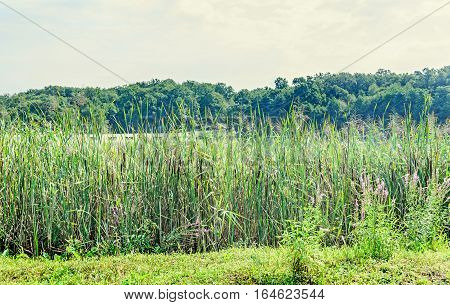 Many Typha Plants On Side Of A Lake, Bulrush, Reedmace, Cattail.