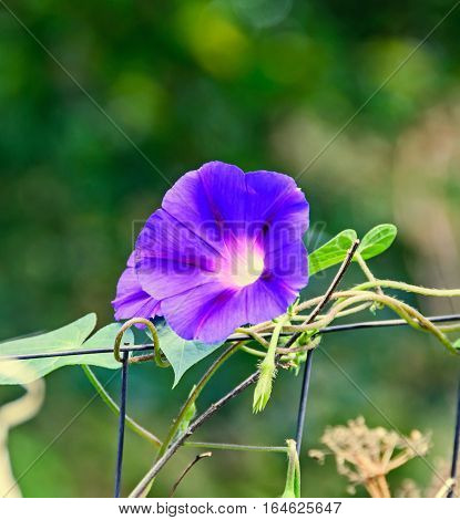 Ipomoea Purpurea Mauve Blue Flower, The Purple, Tall, Or Common Morning Glory, Close Up.
