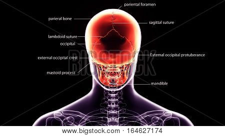 3d illustration human body back face skull with labels