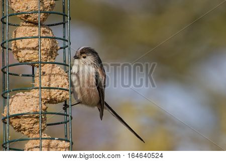Cute Long Tailed Tit (Aegithalos caudatus) on suet feeder