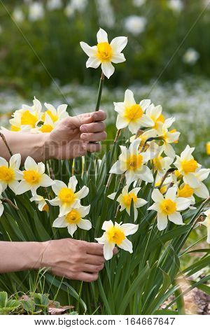 hands picking narcissus flower in the garden for bouquet