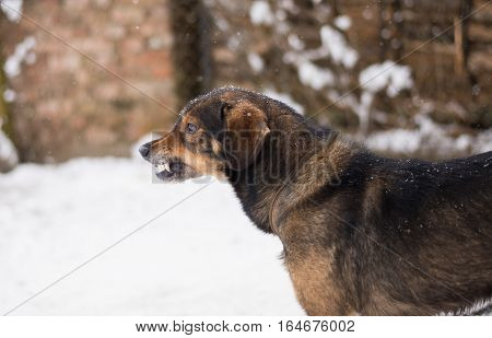 poster of Barking enraged angry dog outdoors. The dog looks aggressive dangerous and may be infected by rabies. Angry dog in the snow. Furious dog. Angry and aggressive dog showing teeth