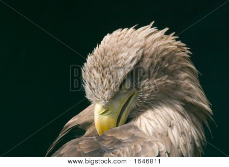 Sleeping Eagle