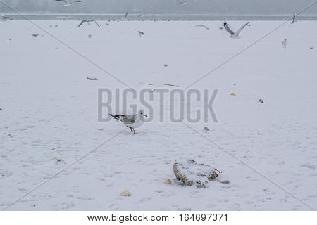 Frozen Danube River With Seagulls Eating