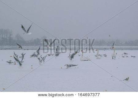 Frozen Danube River With Swans And Seagulls Eating