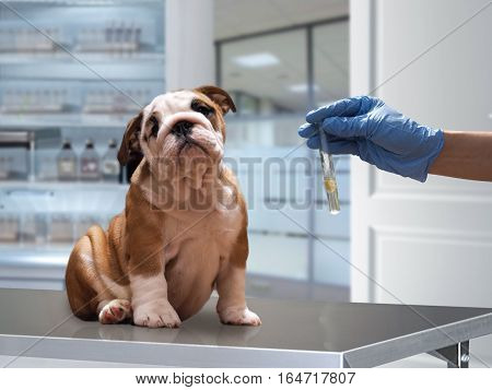 The dog on the Desk in the office of a veterinarian. Hand in glove holding a test tube with analysis