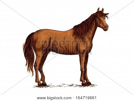 Brown arabian mustang stallion. Horse vector sketch for equestrian racing sport, horse riding races club, bets equine design. Wild horse standing on straight hooves with head turned aside and wavy mane