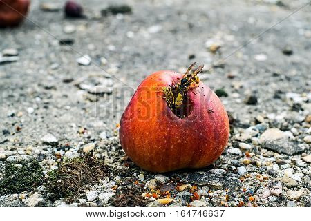 A group of wasps eating from a rotten apple.