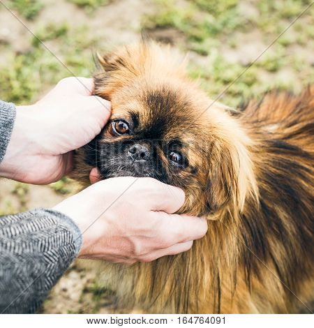 Man's hands holding a cute pekingese dog's muzzle