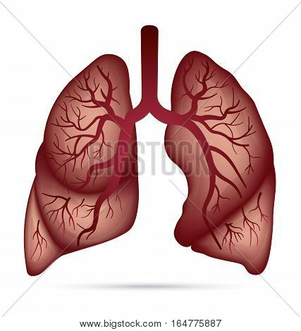 Human lungs anatomy for asthma, tuberculosis, pneumonia. Lung cancer diagram in detail illustration. Breathing or respiratory system. Vector.