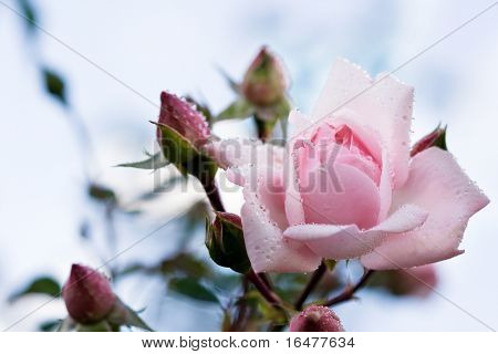 close-up of pink rose with water drops (shallow DOF)